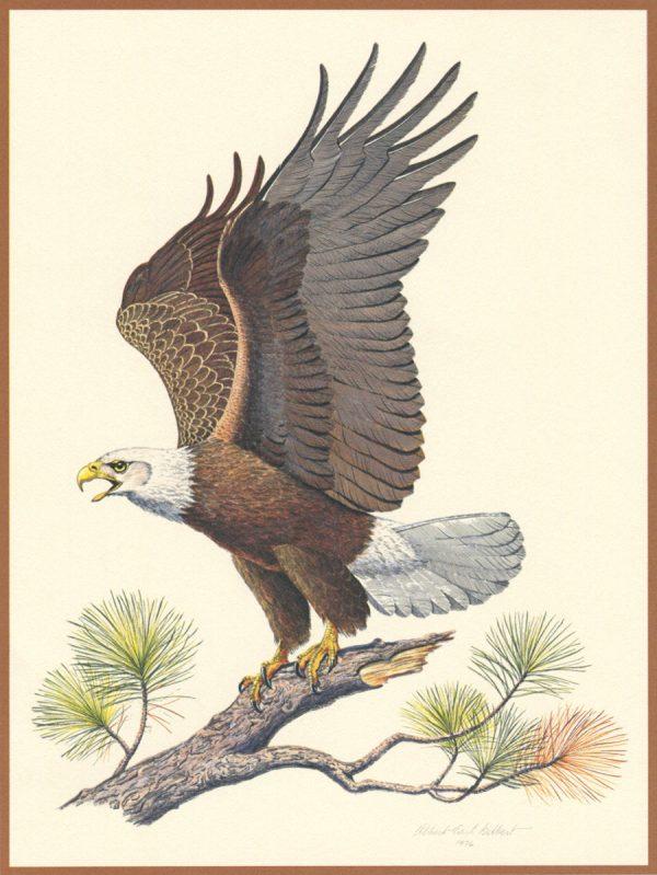 Yves Beaujard, Aigle, « The American bad eagle », gravure d'après un dessin de Albert Earl Gilbert, édition Franklin Mint, 1976 (© Y. Beaujard)