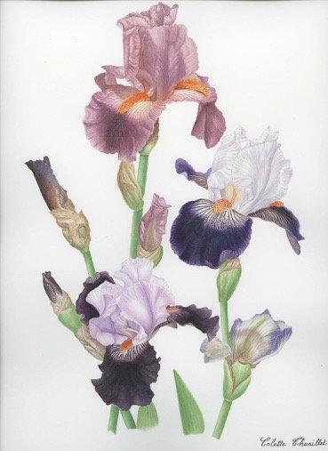 Colette Thurillet, Bouquet d'Iris, gouache et aquarelle, 2010 (© C. Thurillet)
