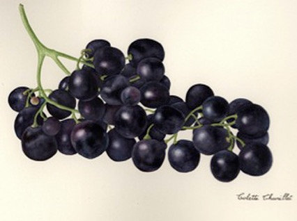 Colette Thurillet, Grappe de raisins, gouache et aquarelle, 2012 (collection privée) (© C. Thurillet)