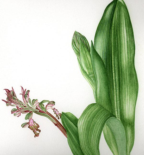 Colette Thurillet, Planche botanique : Orchidée Barlia, gouache et aquarelle, 2014 (© C. Thurillet)