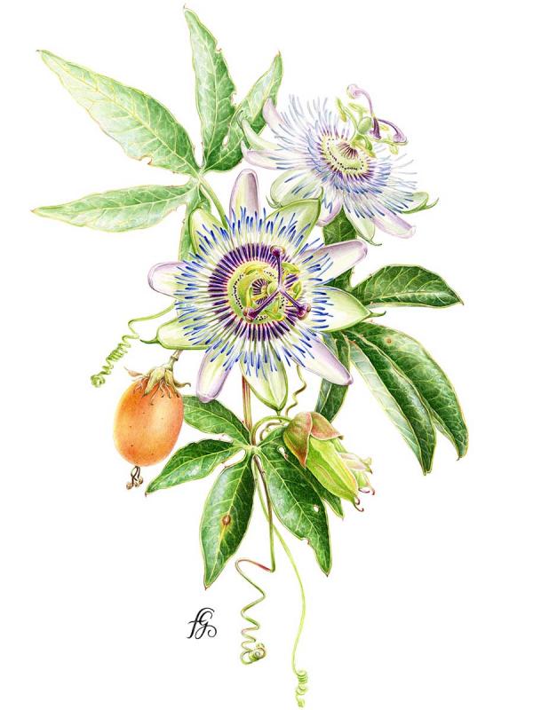 Florence Gendre, Illustration botanique, Passiflore, aquarelle sur papier, 2018 (© F. Gendre)